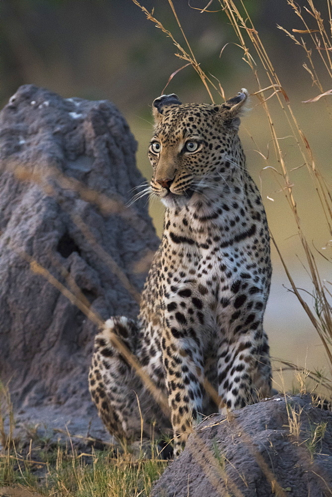 A female leopard, Panthera pardus, standing on a termite mound in the early evening. - 741-5263