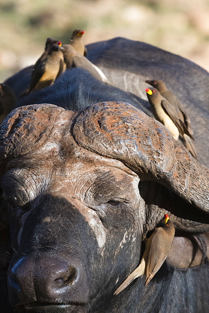 African buffalo, Syncerus caffer, with Yellow-billed Oxpeckers, Buphagus africanus, looking for parasites, Tsavo, Kenya.