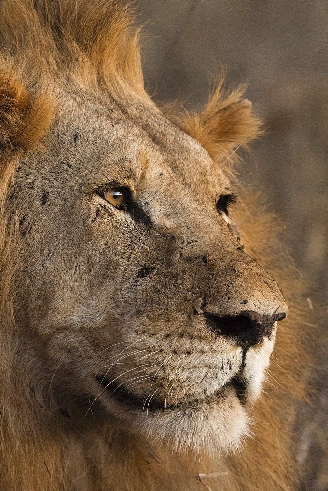 Close up portrait of a lion, Panthera leo, Tsavo, Kenya.