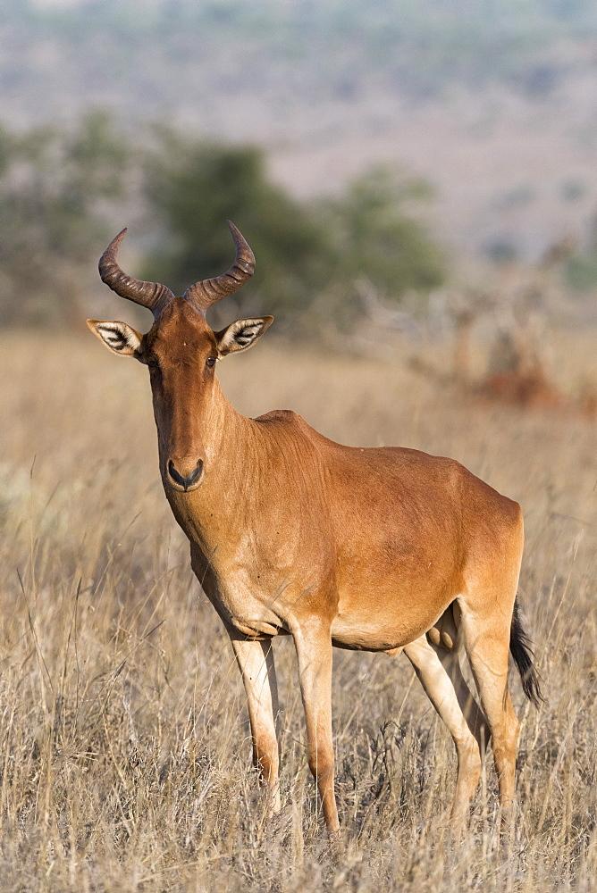 Portrait of an hartebeest, Alcelaphus buselaphus, standing and looking at the camera, Tsavo, Kenya.
