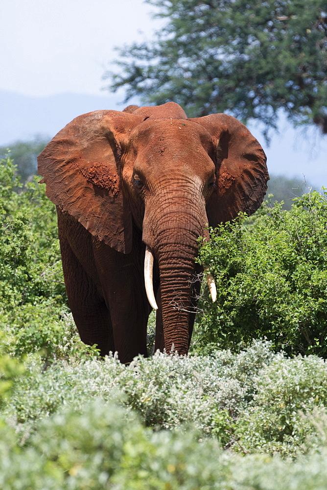 African elephant, Loxodonta africana, Tsavo, Kenya.