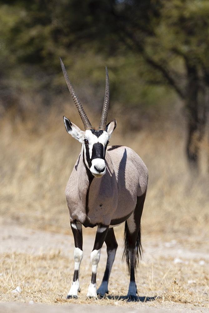 Gemsbok (Oryx gazella), Kalahari, Botswana, Africa - 741-5479