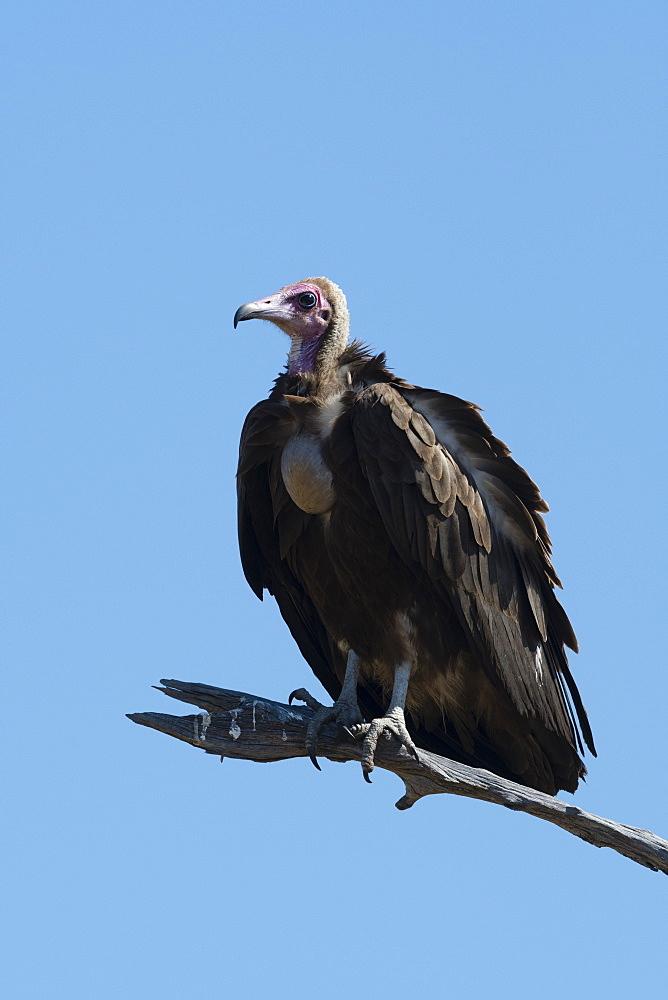 Hooded vulture (Necrosyrtes monachus), Khwai Conservation Area, Okavango Delta, Botswana, Africa