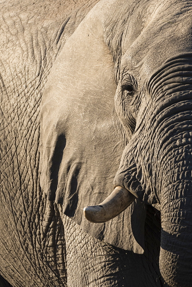 African elephant (Loxodonta africana), Savuti, Chobe National Park, Botswana, Africa - 741-5520