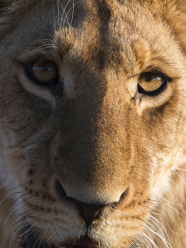 Close up view of a young lion (Panthera leo), Botswana, Africa - 741-5523