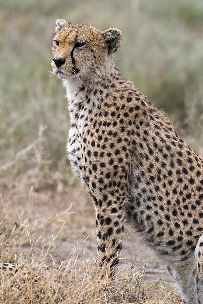 Cheetah (Acinonyx jubatus), Ndutu, Ngorongoro Conservation Area, Serengeti, Tanzania. - 741-5663