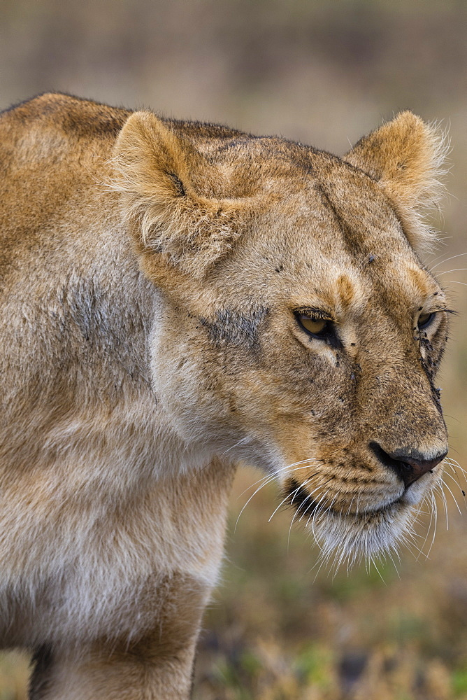 Lion (Panthera leo), Ndutu, Ngorongoro Conservation Area, Serengeti, Tanzania, East Africa, Africa - 741-5675