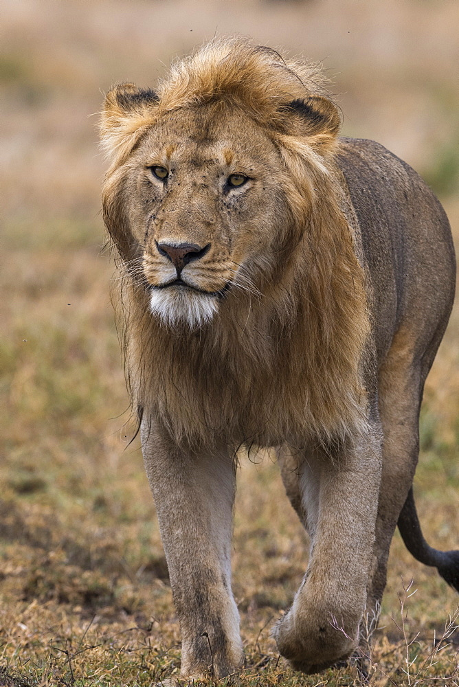 Male lion walking (Panthera leo), Ndutu, Ngorongoro Conservation Area, Serengeti, Tanzania, East Africa, Africa - 741-5676