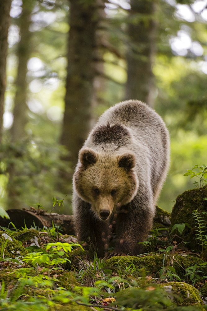 A European brown bear (Ursus arctos) walking towards the camera, Slovenia, Europe - 741-5681
