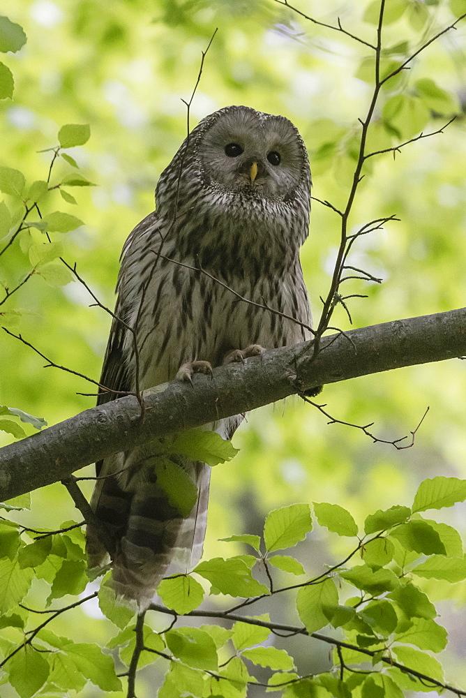 Ural owl (Strix uralensis), Notranjska forest, Slovenia. - 741-5686