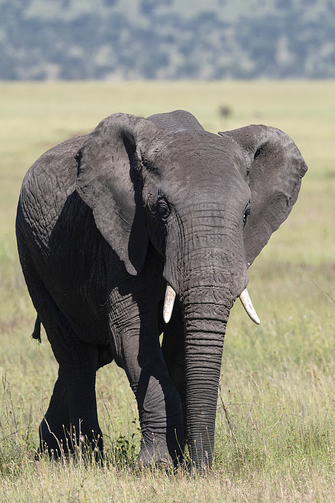 African elephant (Loxodonta africana), Seronera, Serengeti National Park, UNESCO World Heritage Site, Tanzania, East Africa, Africa - 741-5751