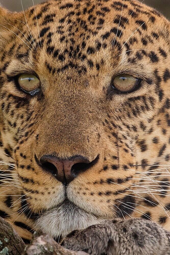 Leopard (Panthera pardus), Seronera, Serengeti National Park, Tanzania, East Africa, Africa - 741-5915