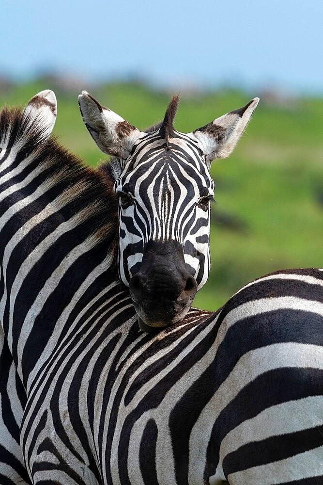 Plains zebras (Equus quagga), Ndutu, Ngorongoro Conservation Area, Serengeti, Tanzania, East Africa, Africa - 741-5920