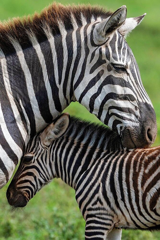 Plains zebras (Equus quagga), Ndutu, Ngorongoro Conservation Area, Serengeti, Tanzania, East Africa, Africa - 741-5922