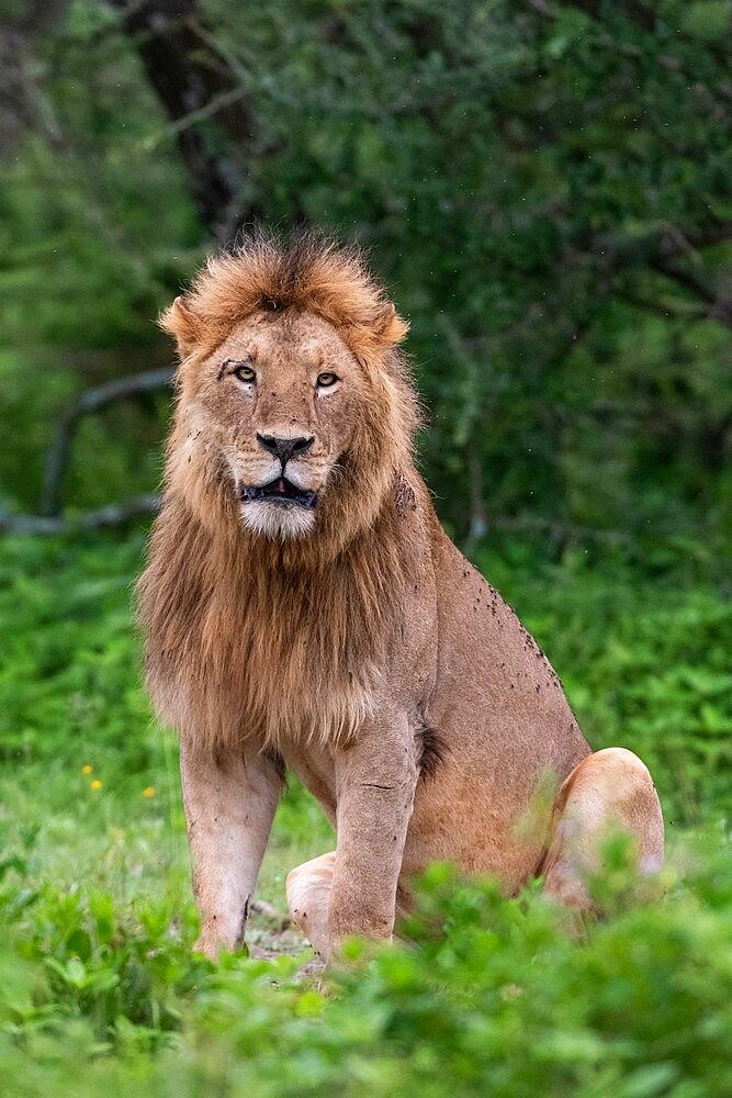 Lion (Panthera leo), Ndutu, Ngorongoro Conservation Area, Serengeti, Tanzania, East Africa, Africa - 741-5927