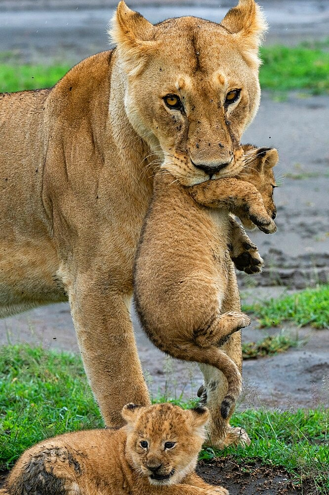 A lioness (Panthera leo) with its four week old cubs, Ndutu, Ngorongoro Conservation Area, Serengeti, Tanzania, East Africa, Africa - 741-5952
