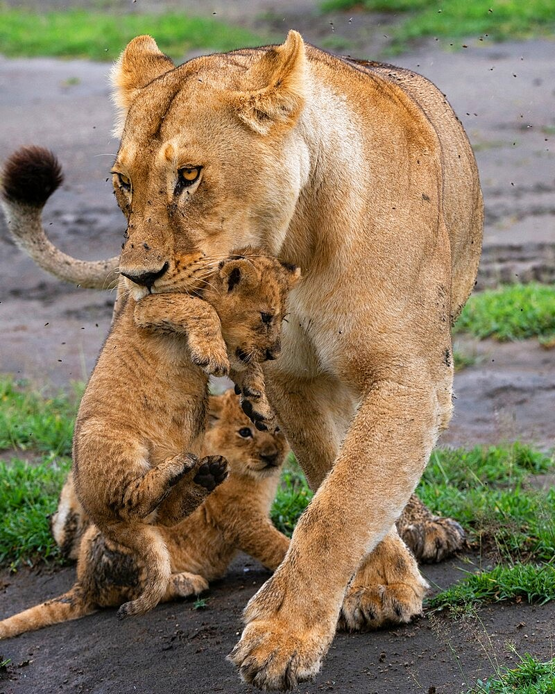 A lioness (Panthera leo) with its four week old cubs, Ndutu, Ngorongoro Conservation Area, Serengeti, Tanzania, East Africa, Africa - 741-5953