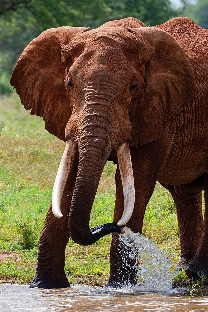 Elephant, Lualenyi, Tsavo Conservation Area, Kenya, East Africa, Africa - 741-5957