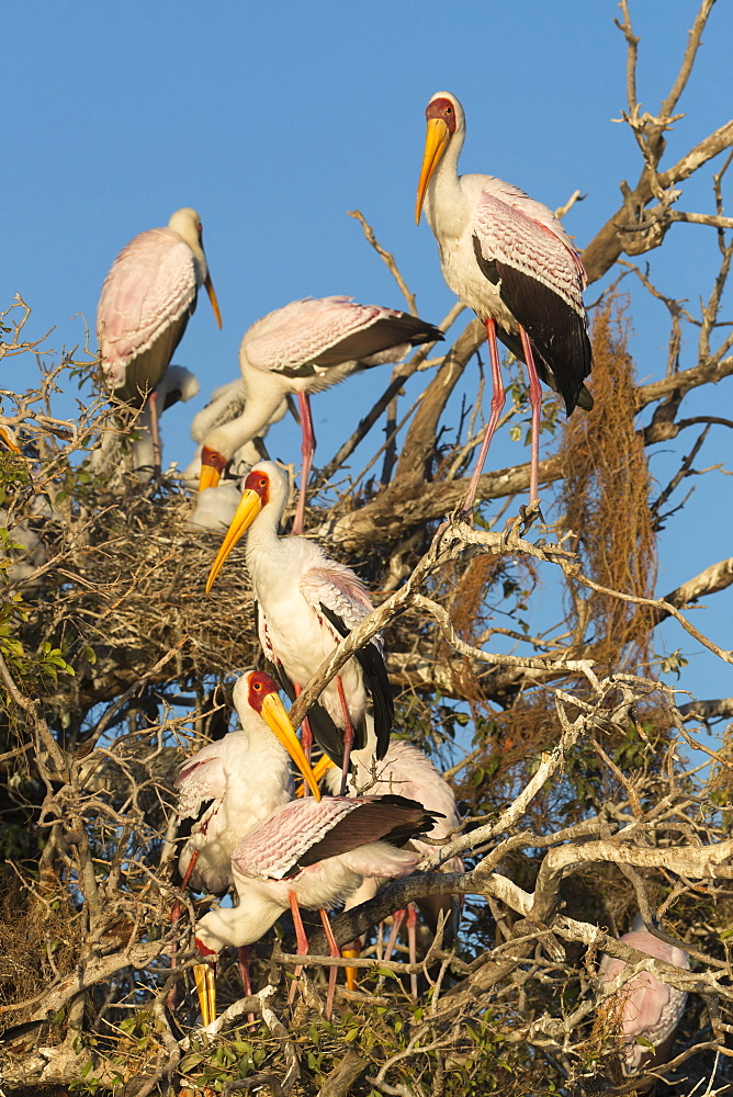Yellow-billed stork (Mycteria ibis) at nesting colony, Chobe River, Botswana, Africa