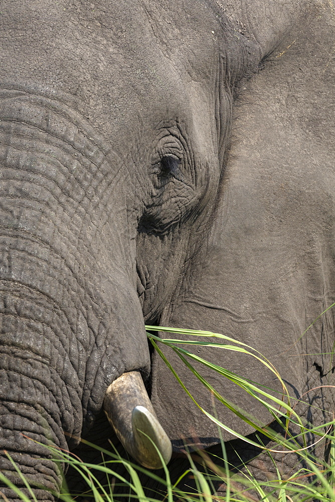 African elephant (Loxodonta africana) bull close up eating, Chobe river, Botswana, Africa