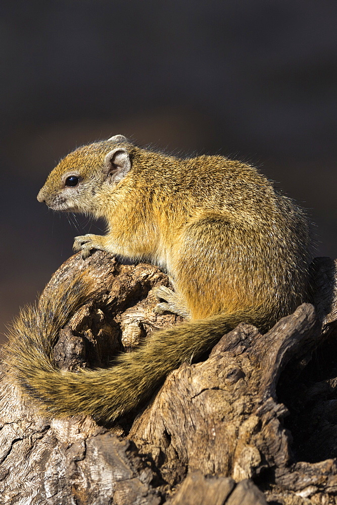 Tree (yellow-footed) squirrel (Paraxerus cepapi), Chobe National Park, Botswana, Africa