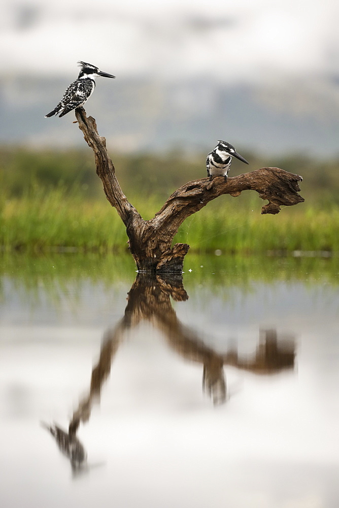 Pied kingfishers (Ceryle rudis), Zimanga Private Game Reserve, KwaZulu-Natal, South Africa, Africa