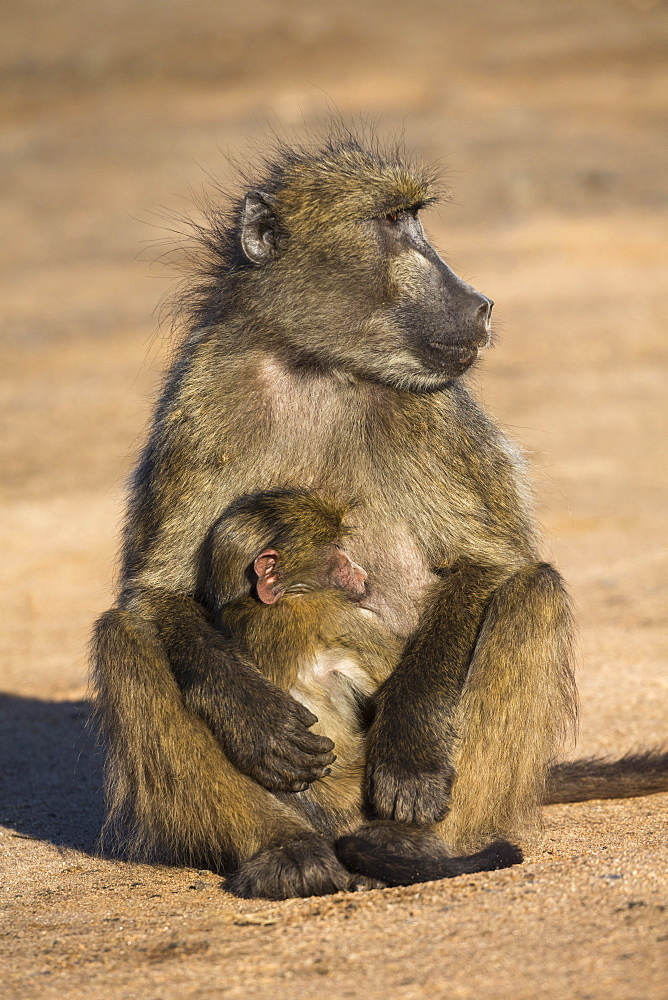 Chacma baboon (Papio ursinus) with young, Kruger National Park, South Africa, Africa