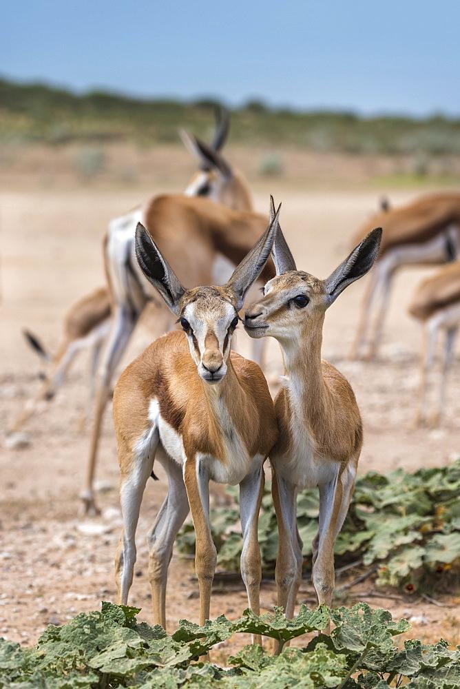 Springbok (Antidorcas marsupialis) young, Kgalagadi transfrontier park, Northern Cape, South Africa, January 2017