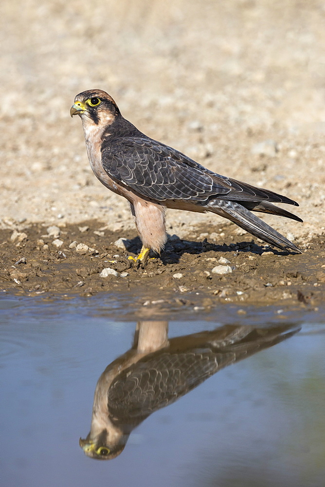 Lanner falcon (Falco biarmicus) at water, Kgalagadi Transfrontier Park, South Africa, Africa - 743-1930