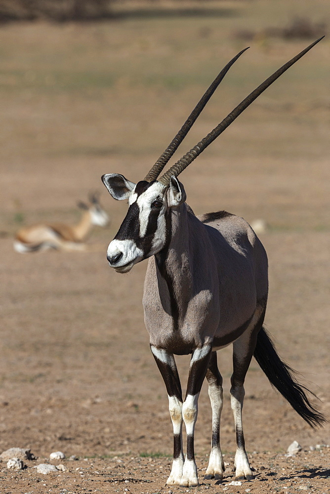 Gemsbok (Oryx gazella), Kgalagadi transfrontier park, South Africa, January 2020