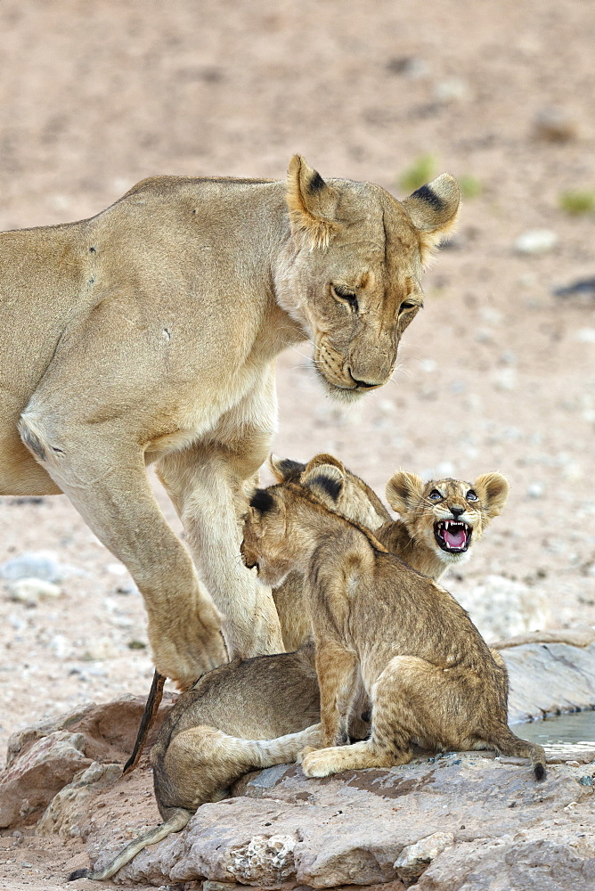 Lioness (Panthera leo) with cubs, Kgalagadi transfrontier park, South Africa, January 2020