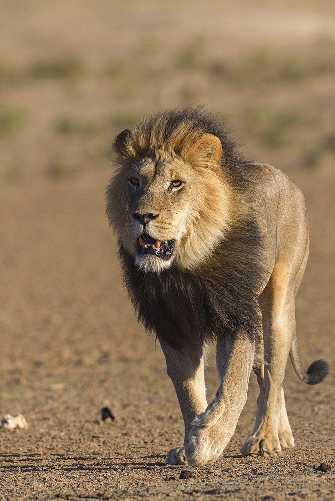 Lion (Panthera leo), Kgalagadi transfrontier park, South Africa, January 2020