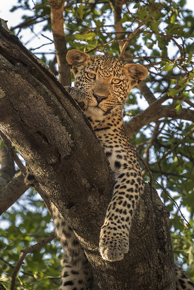 Leopard (Panthera pardus), Elephant Plains, Sabi Sand Game Reserve, South Africa, Africa - 743-2000