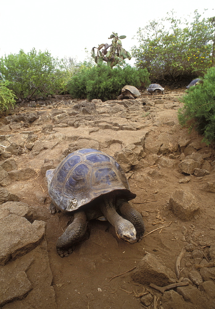 Tortoise, Galapagos Islands, Ecuador, South America - 745-92