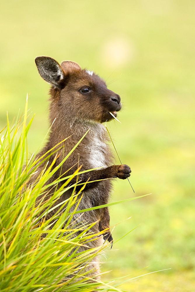 Kangaroo, (Macropus fuliginosus), Flinders Chase N.P., Kangaroo Island, South Australia, Australia