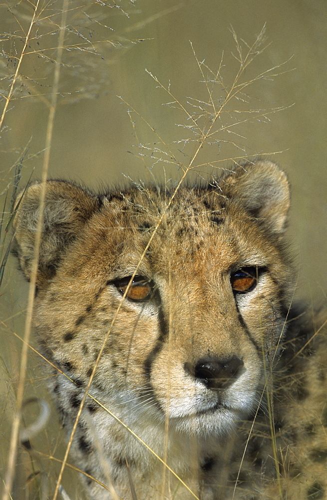 Cheetah, (Acinonyx jubatus), Okonjima Private Game Reserve, Windhoek, Namibia