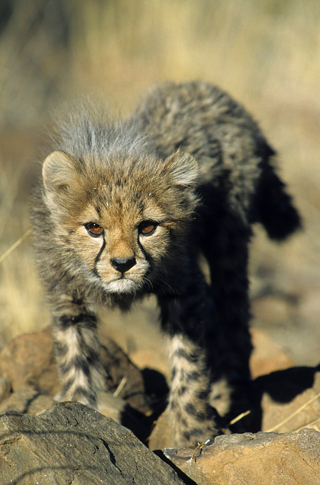 Cheetah cub, Acinonyx jubatus, Duesternbrook Private Game Reserve, Windhoek, Namibia, Africa