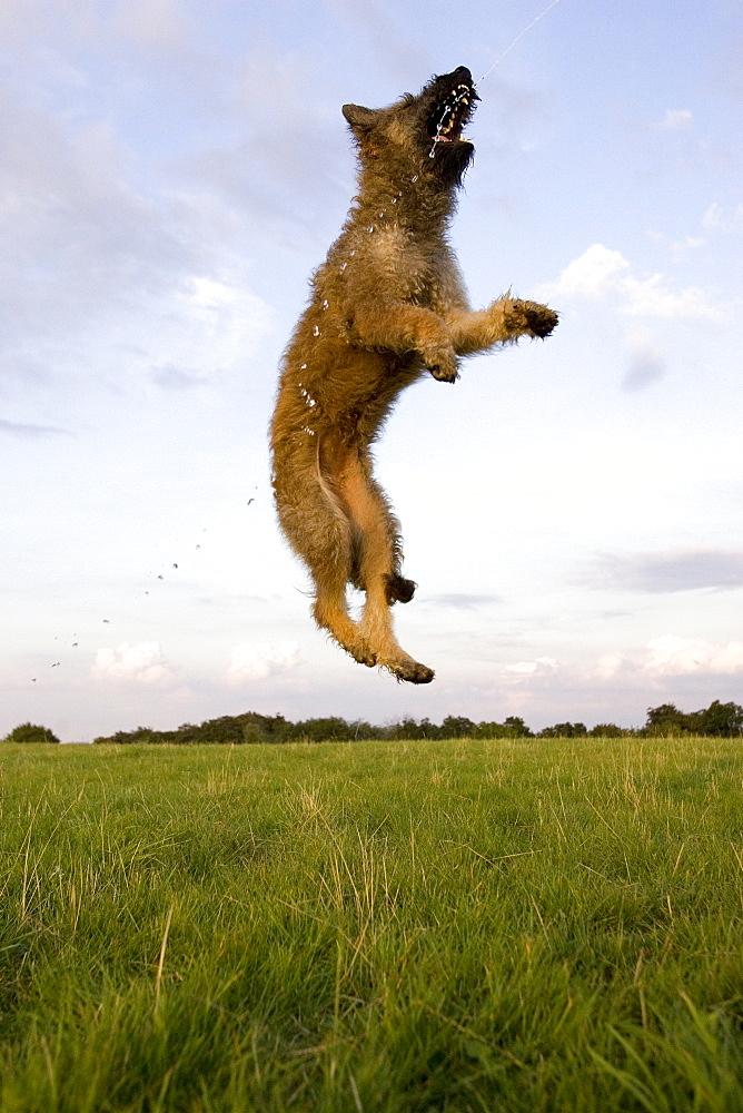 Belgian Shepherd, (Canidae), Laekenois, Lemgo, Nordrhein Westfalen, Germany