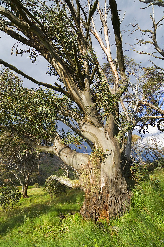 Snow gum, Kosciuszko National Park, New South Wales, Australia, Pacific
