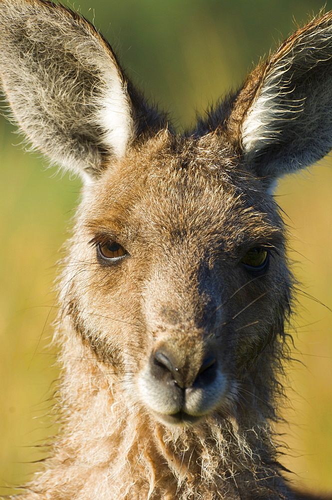 Eastern grey kangaroo, Geehi, Kosciuszko National Park, New South Wales, Australia, Pacific - 756-1106