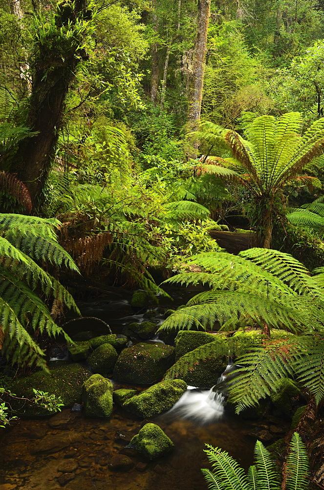 Stream and tree ferns, Mount Field National Park, UNESCO World Heritage Site, Tasmania, Australia, Pacific