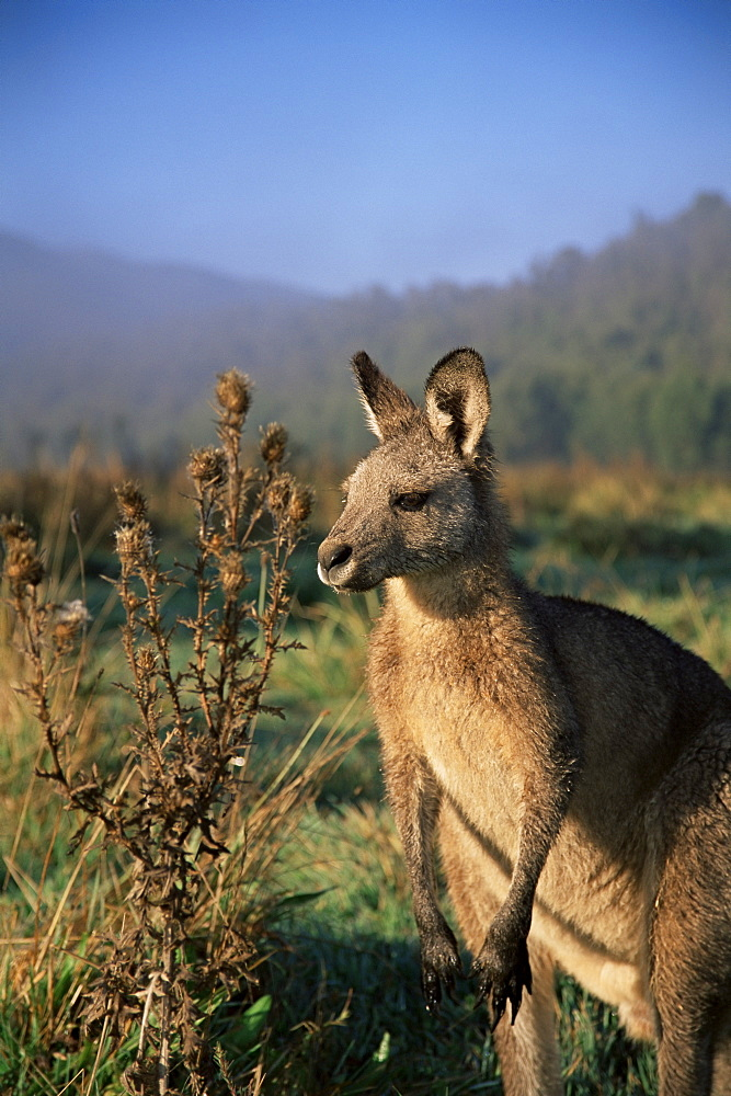 Eastern grey kangaroo, New South Wales, Australia, Pacific