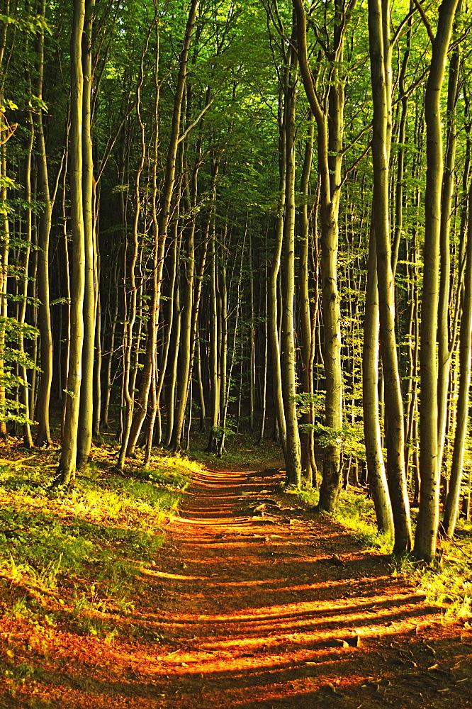 Beech forest, Jasmund National Park, Ruegen Island, Mecklenburg-Vorpommern, Germany, Europe