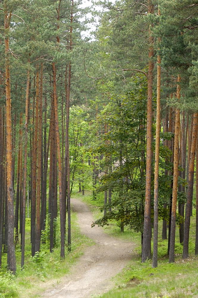 Path through pine forest, near Riga, Latvia, Baltic States, Europe