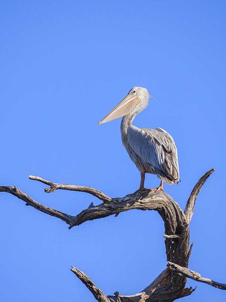 Pink-backed Pelican (Pelecanus rufescens) Makgadikgadi Pans National Park, Kalahari, Botswana, Africa