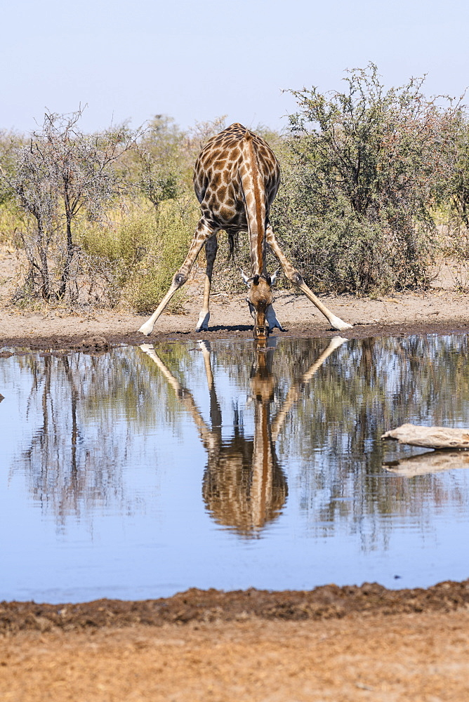 Southern giraffe (Giraffa giraffa) drinking at a waterhole, Makgadikgadi Pans National Park, Kalahari, Botswana, Africa - 762-898