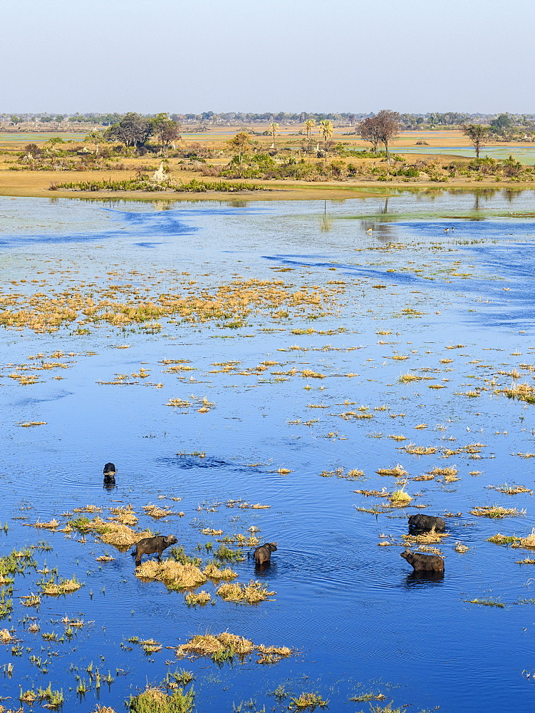 Aerial view of African buffalo (Cape Buffalo) (Syncerus caffer), Macatoo, Okavango Delta, Botswana, Africa