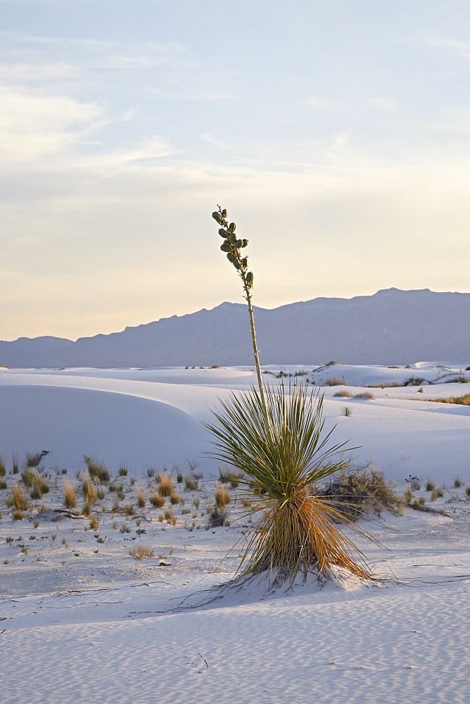 Yucca plant on a dune at dusk, White Sands National Monument, New Mexico, United States of America, North America
