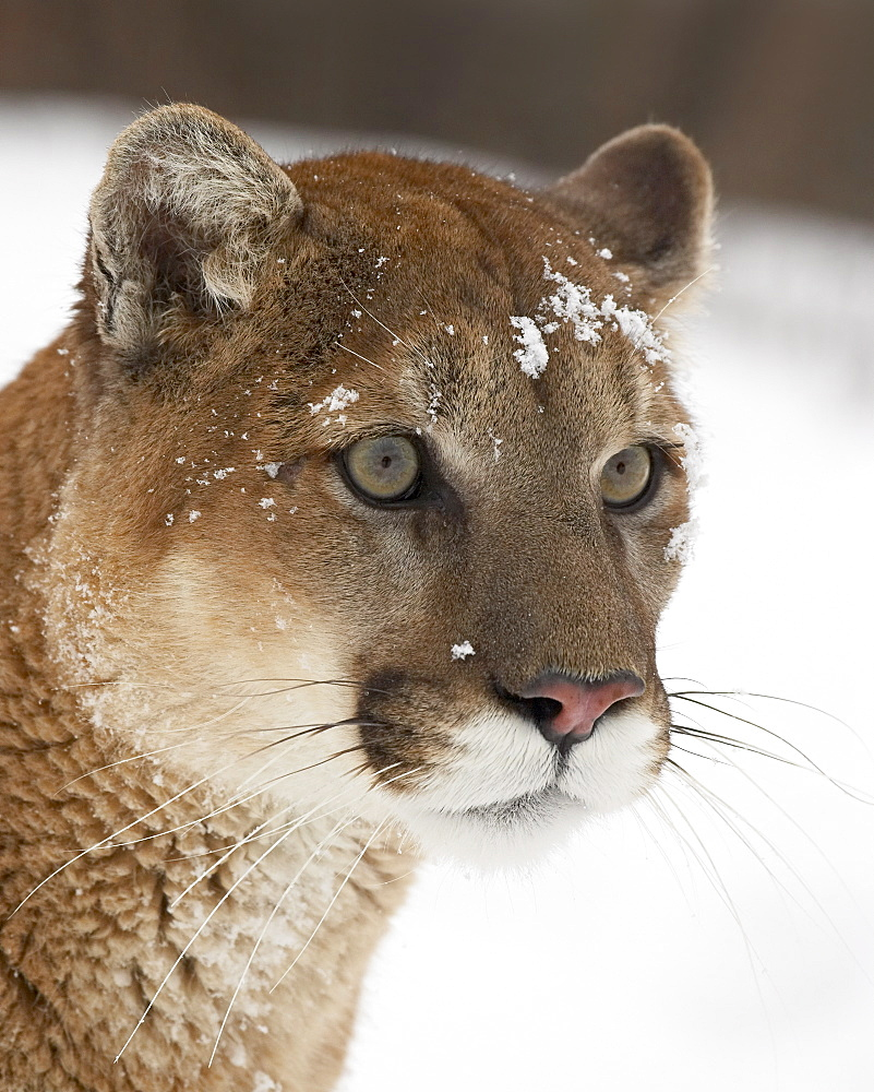 Mountain lion or cougar (Felis concolor) in snow, near Bozeman, Montana, United States of America, North America