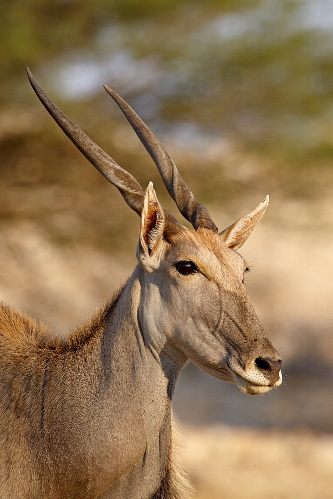 Common eland (Taurotragus oryx), Kgalagadi Transfrontier Park, encompassing the former Kalahari Gemsbok National Park, South Africa, Africa - 764-1108